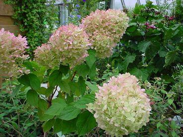 Hydrangea-Paniculata-Phantom-3